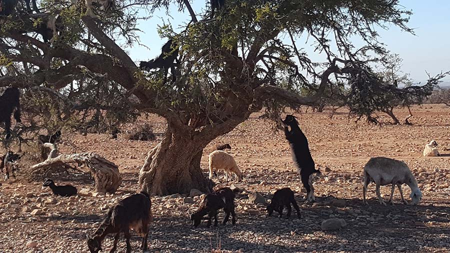 Arganbäume und Ziegen